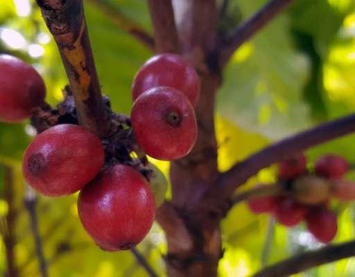 Tuburan Coffee – Besuch auf einer Kaffeeplantage auf den Philippinen