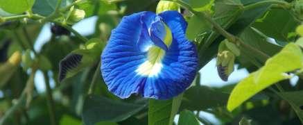 Blue Butterfly Pea Flower Coffee