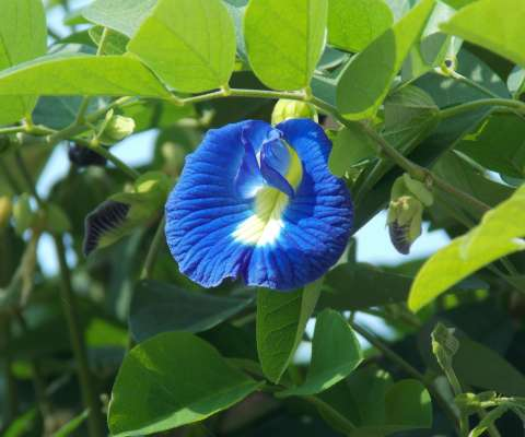 pea_flower